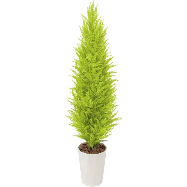 ゴールドクレスト (植物)の画像 p1_24