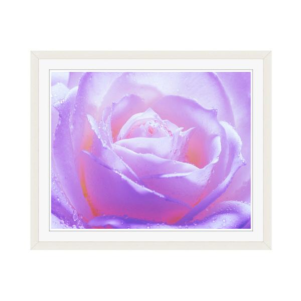 アートプリントジャパン 「紫色の薔薇」 フレーム/M/ホワイト 1枚