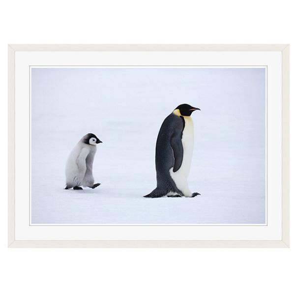 アートプリントジャパン 「Emperor Penguins,Snow Hill Island,Antarctica」 フレーム/XL/ホワイト 1枚