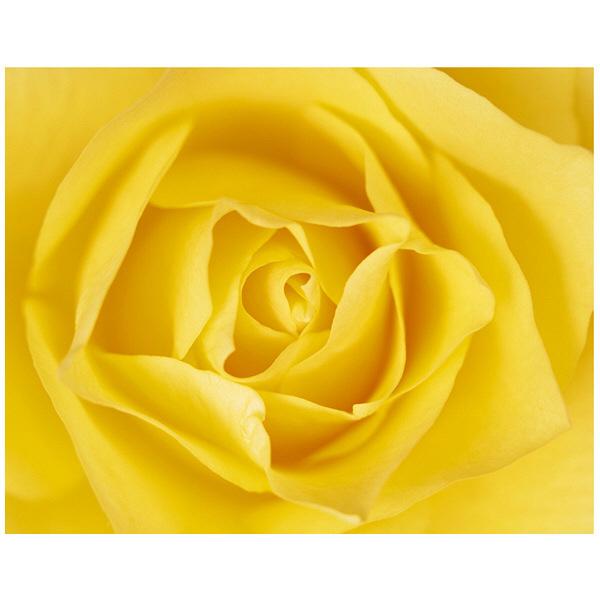 アートプリントジャパン 「黄色いバラ」 キャンバス/L 1枚