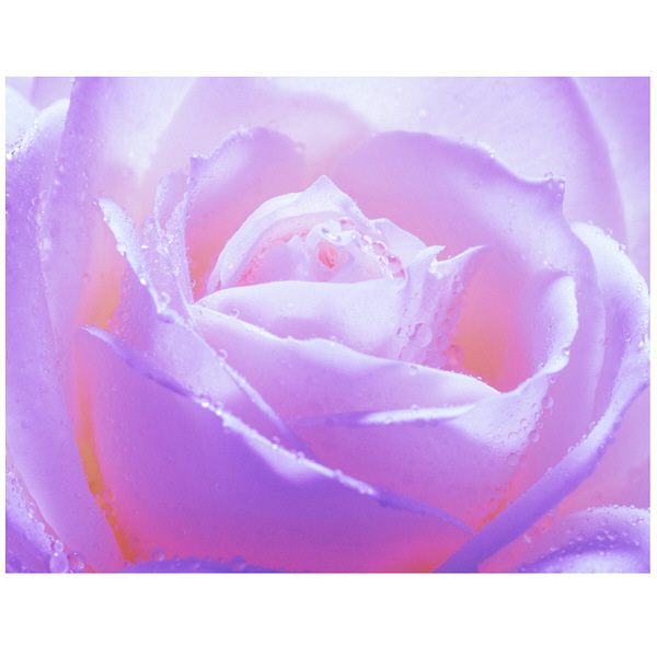 アートプリントジャパン 「紫色の薔薇」 キャンバス/M 1枚