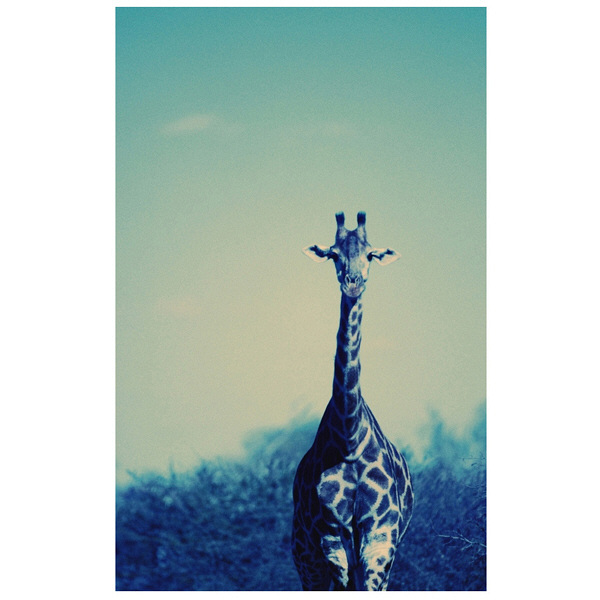 アートプリントジャパン 「Reticulated Giraffe」 キャンバス/S 1枚