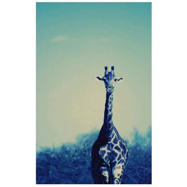 アートプリントジャパン 「Reticulated Giraffe」 キャンバス/XL 1枚