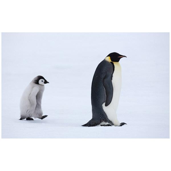 アートプリントジャパン 「Emperor Penguins,Snow Hill Island,Antarctica」 キャンバス/XL 1枚