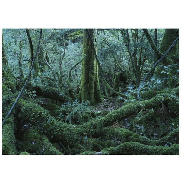 アートプリントジャパン 「鬱蒼とした屋久杉の森 屋久島 鹿児島県」 キャンバス/L 1枚