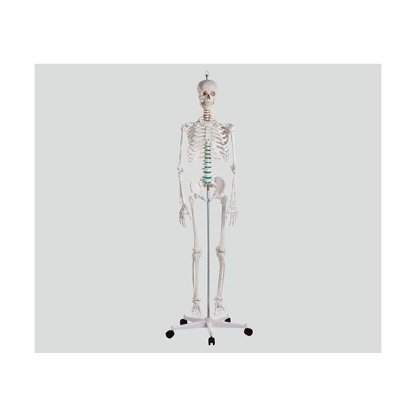 Erler-Zimmer 骨格モデル 178cm 2960 1個 8-8311-01(直送品)