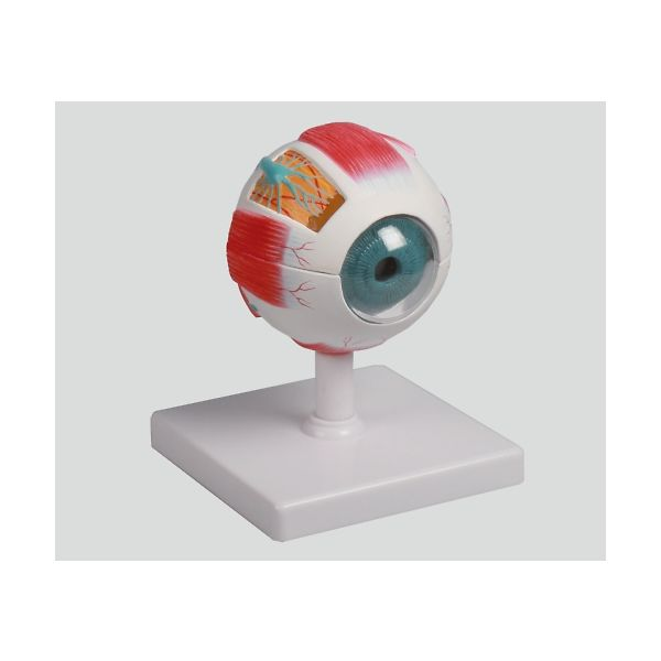 Erler-Zimmer 眼球6分解モデル 100×100×120 F210 1個 8-8315-01  ナビスカタログ(直送品)