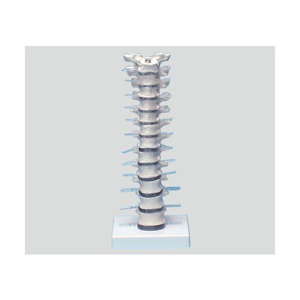 Erler-Zimmer 胸椎モデル 385×150×130 4060 1個 8-8421-01(直送品)
