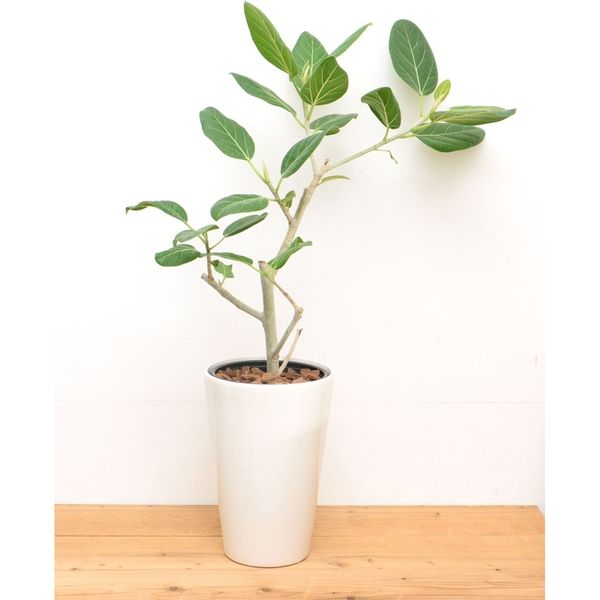 ハクサンイターナショナル PD COLLECTION 中鉢観葉植物 ID-8001 フィカス ベンガレンシス ベーシックWH 611000058 1鉢(直送品)