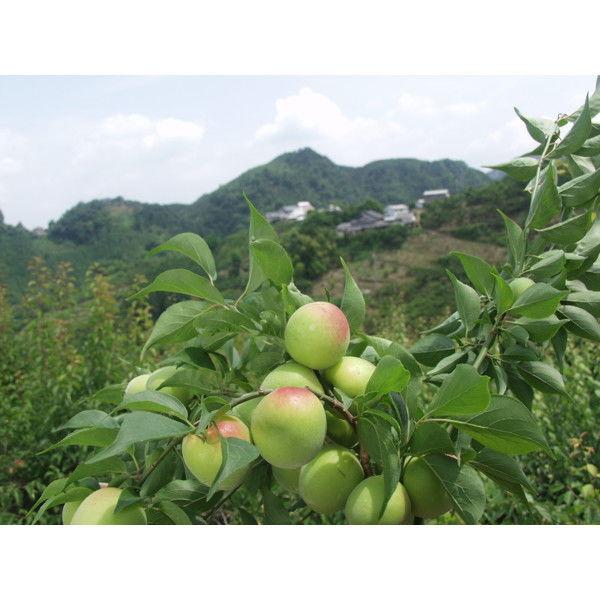 和歌山・奈良県産南高梅 もみしそ付き