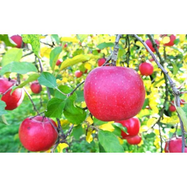 山形県産 わけあり早熟リンゴ10kg