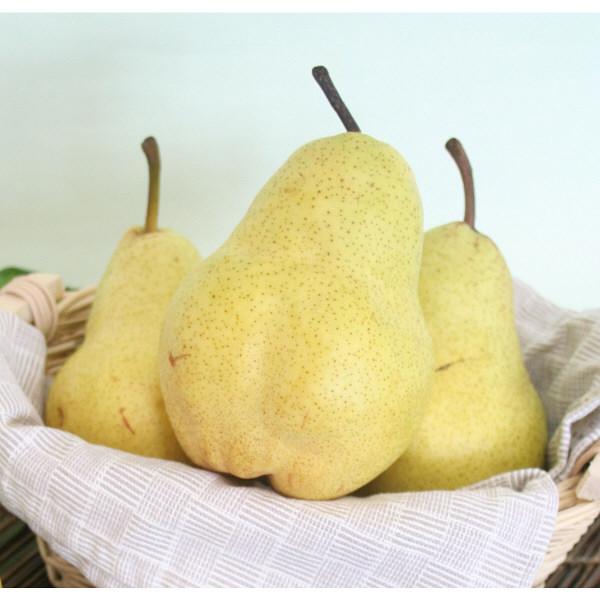 大玉洋梨「マルゲリットマリーラ」約3kg