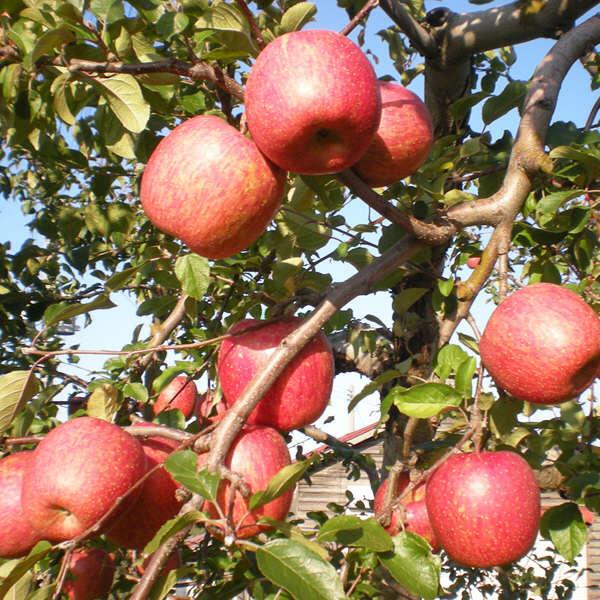 赤い七福神りんごと縁起ものりんご