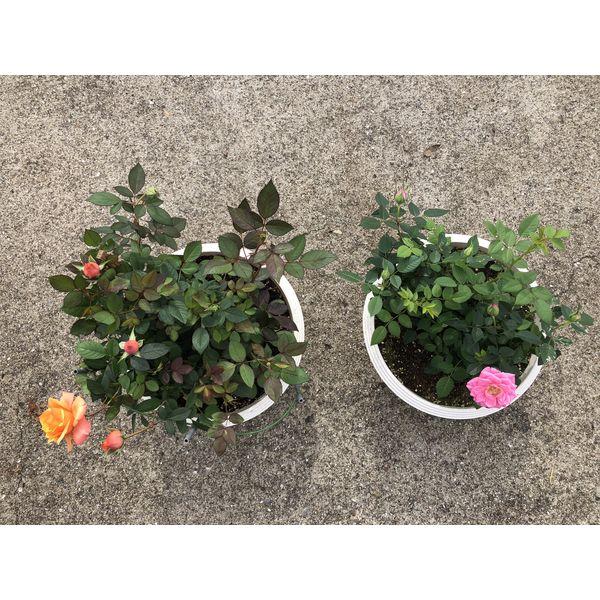 【植物活性剤】上田微生物 プロのバラ女子 バラ元気サプリ AS-19 1セット(5袋入)(直送品)