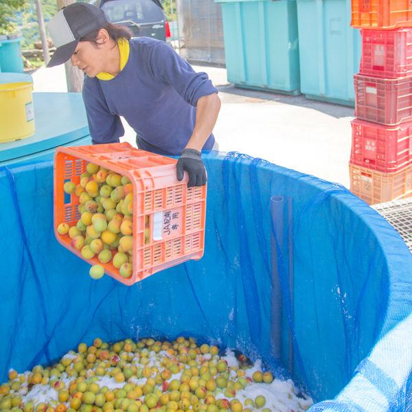 紀州 石神の梅干 白干梅 香醸栽培