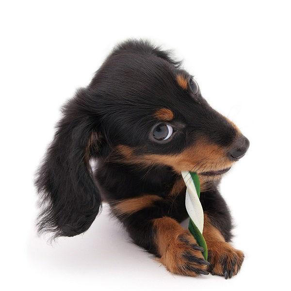 ペットキッス植物ツイスティ小型犬用×3