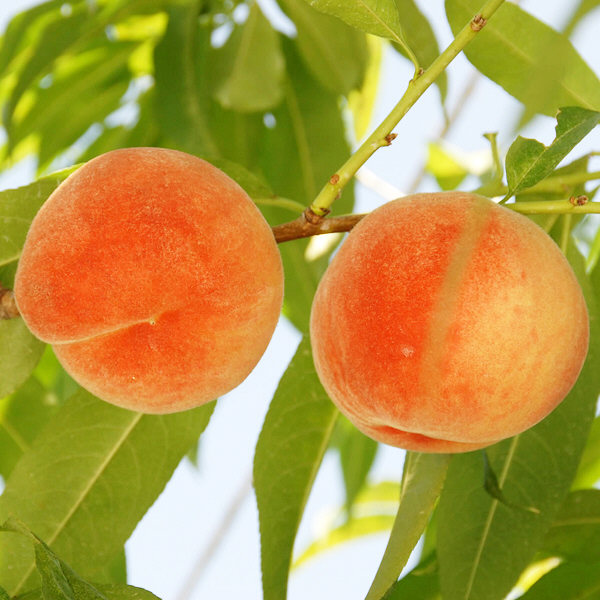山形県産白桃 約2kg(6~8玉)