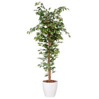 アイコム 人工観葉植物 人工樹木 フィカスベンジャミン 1.8m AGA-1801N 1鉢