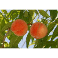 山形県産白桃 約2kg(6-8玉)品種おまかせ 【予約販売】 (直送品)