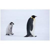 アートプリントジャパン 「Emperor Penguins,Snow Hill Island,Antarctica」 キャンバス/M 1枚