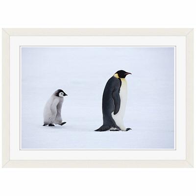 アートプリントジャパン 「Emperor Penguins,Snow Hill Island,Antarctica」 フレーム/S/ホワイト 1枚