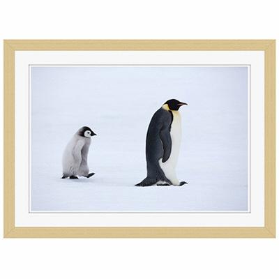 アートプリントジャパン 「Emperor Penguins,Snow Hill Island,Antarctica」 フレーム/S/木目 1枚