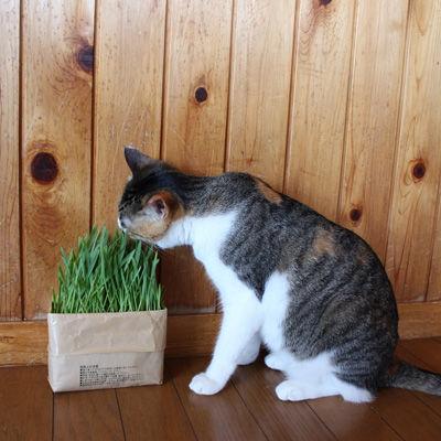 猫草栽培セット 2個入り