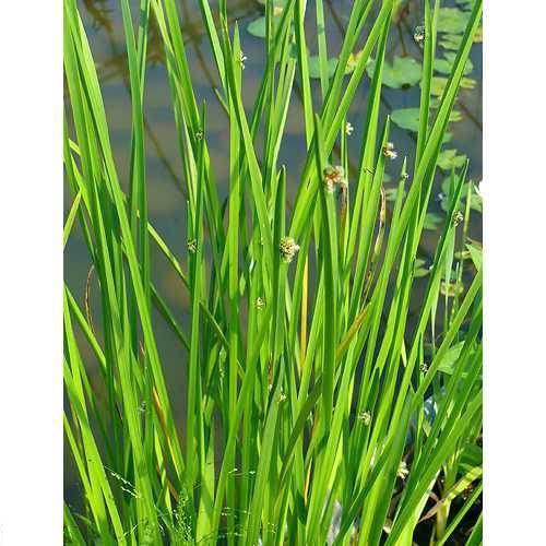 (ビオトープ)水辺植物 カンガレイ(1ポット分)