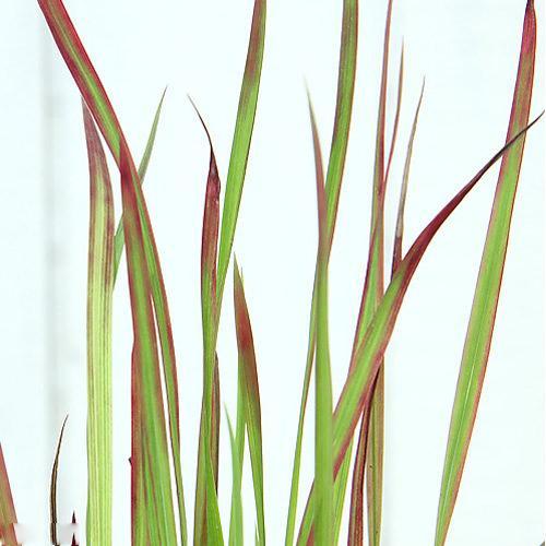 (ビオトープ)水辺植物 ベニチガヤ(1ポット分) 湿生植物