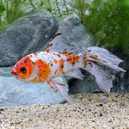 LOHACO - (国産金魚)朱文金 15...