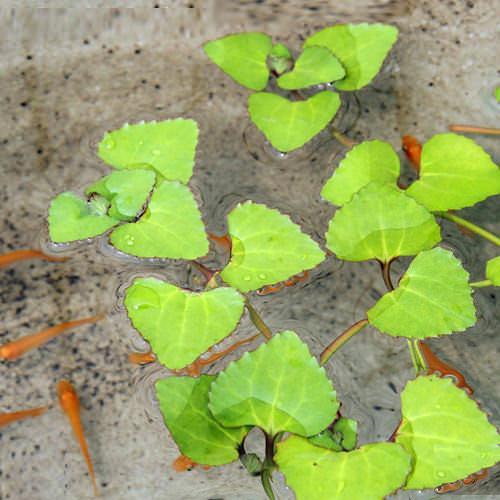 (ビオトープ)水辺植物 ヒシモドキ(1株)