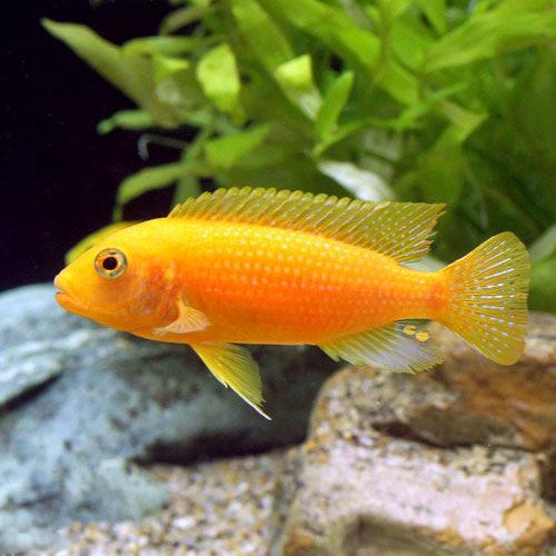 LOHACO - (熱帯魚)オレンジゼ...