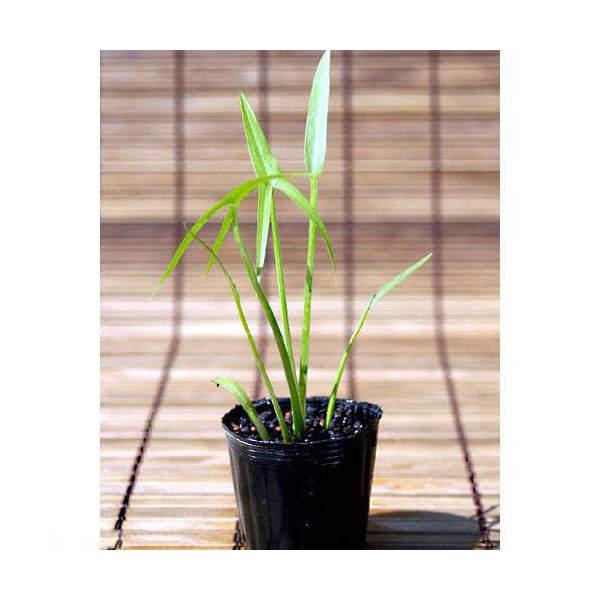 (ビオトープ/水辺植物)オモダカ(1株)