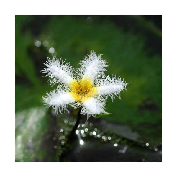 (ビオトープ)水辺植物 ガガブタ(1ポット)