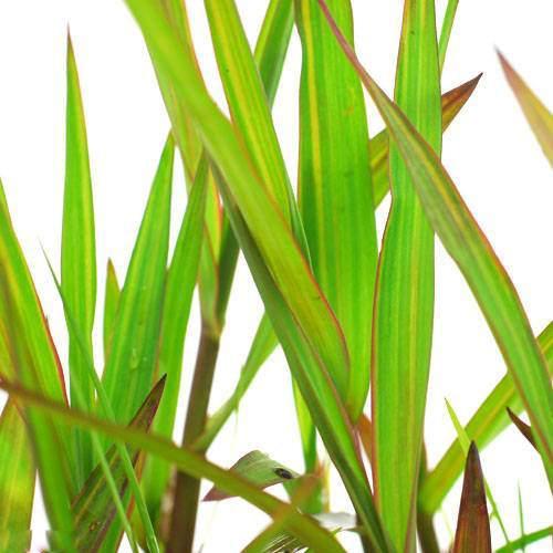 (ビオトープ/水辺植物)ベニフヒメアシ(1ポット分)