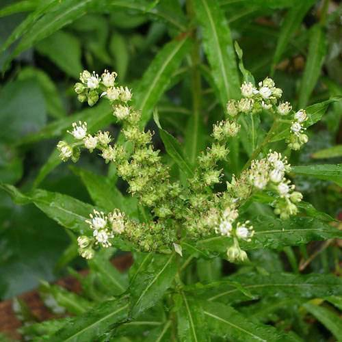 (ビオトープ/水辺植物)タコノアシ(1ポット)