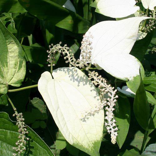 (ビオトープ/水辺植物)ハンゲショウ(1ポット)