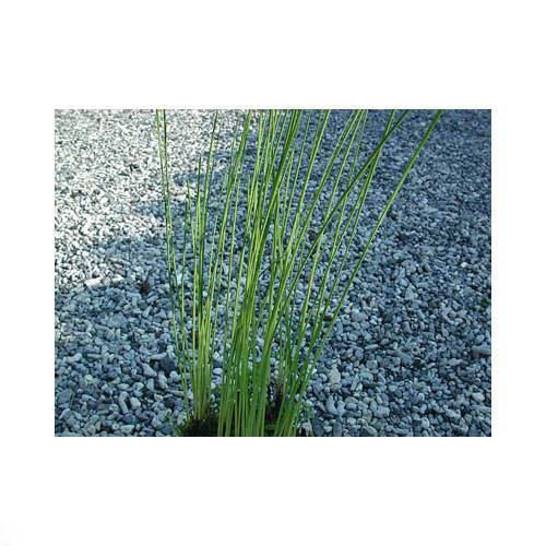 (ビオトープ)水辺植物 ヒメガマ(1ポット分) 抽水植物