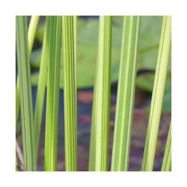 (ビオトープ/水辺植物)タテジマフトイ(1ポット分)