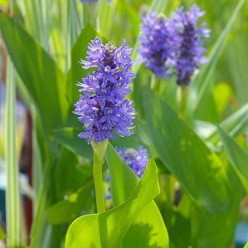 (ビオトープ)水辺植物 ポンテデリア コルダータ(青花)(1ポット分)