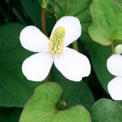 (ビオトープ)水辺植物 ドクダミ(1ポット) 湿生植物