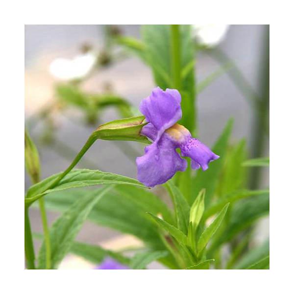 (ビオトープ/水辺植物)ミムルス リンゲンス(1ポット分)