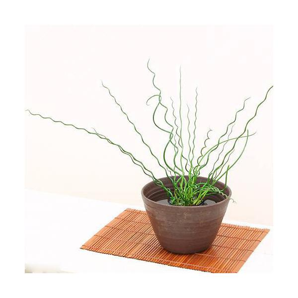 (ビオトープ/水辺植物)ラセンイ(1ポット分)