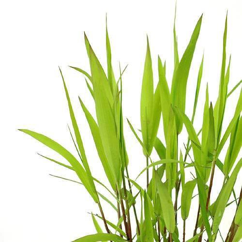 (ビオトープ)水辺植物 ツルヨシ(1ポット分)