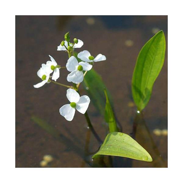 (ビオトープ)水辺植物 ヒメオモダカ(1株) (休眠株)