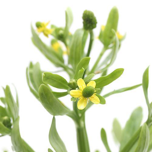 (ビオトープ/水辺植物)タガラシ(1ポット分)
