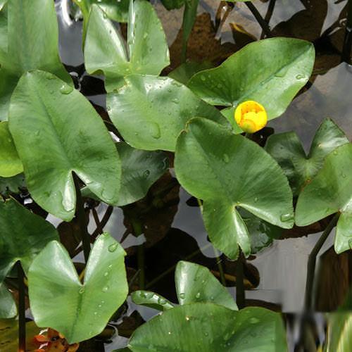 (ビオトープ)水辺植物 ベニコウホネ(1ポット)(休眠株)
