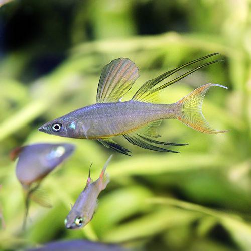 美しい 熱帯魚 ランキング