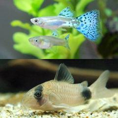 (熱帯魚)ブルーグラスグッピー(国産グッピー)(1ペア)+コリドラス・パンダ(1匹) 北海道・九州航空便要保温