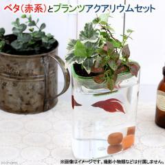 (熱帯魚)ベタ(赤系)とプランツアクアリウム飼育セット 本州・四国限定